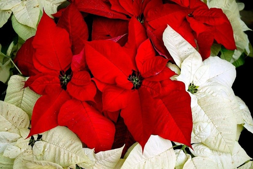 Wallpaper Poinsettia, Flower, Two-colored, Leaves, Drops HD, Picture, Image