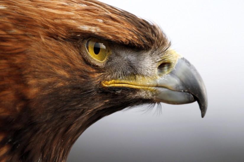 Images For > Golden Eagle Hunting Wallpaper