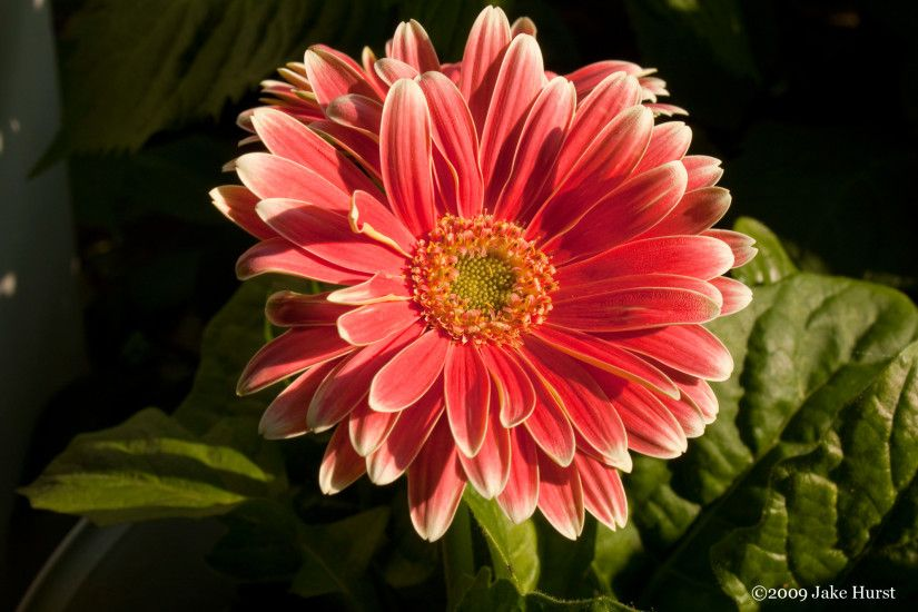 Gerber Daisy's Grow Your Own Subjects
