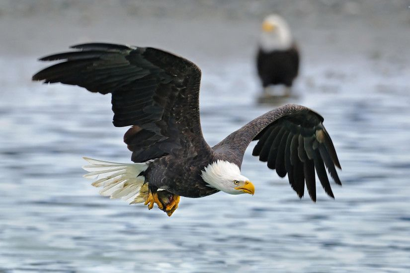 Bald Eagle flying above the water wallpaper
