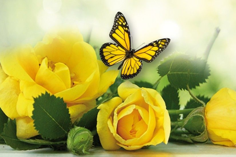 ... Nature Yellow Rose Wallpapers HD Wallpapers