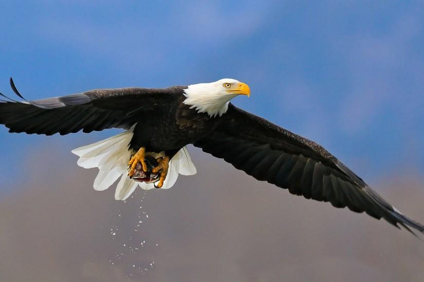 Animal Bald Eagle Wallpaper 2560x1440 px Free Download .