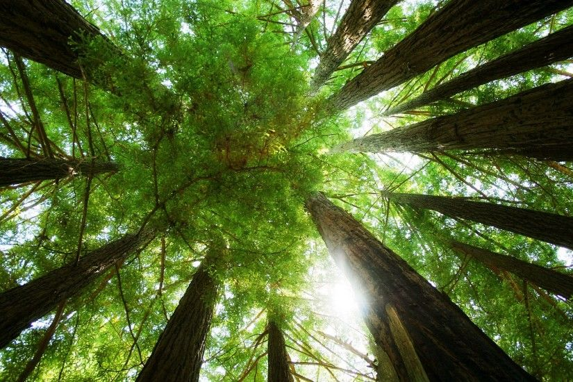 Ring of Redwoods Wallpaper Plants Nature Wallpapers