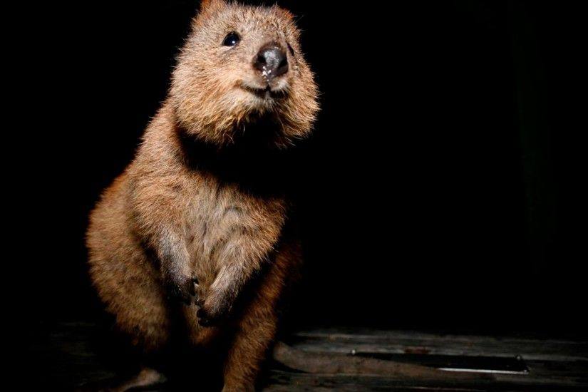 Quokka HQ wallpapers Quokka Desktop wallpapers