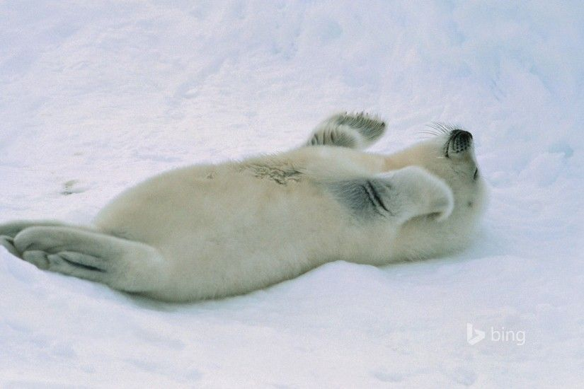 White fur seal lying on his back