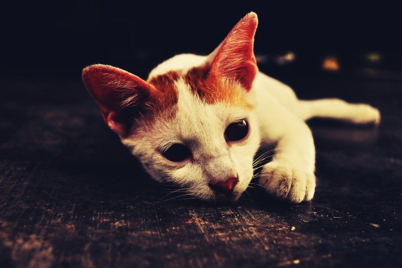 Cute White Cat wallpapers and stock photos