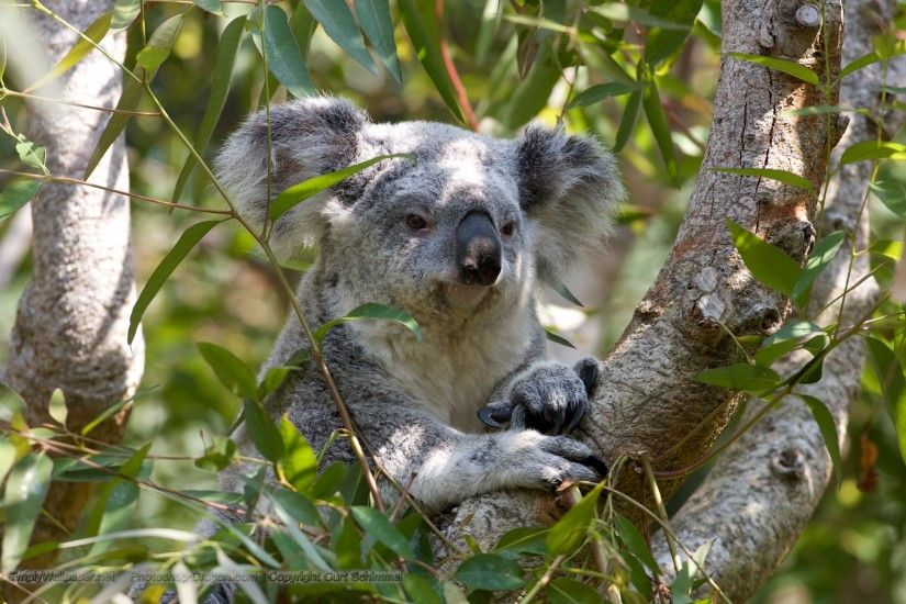 grey koala bear in a tree