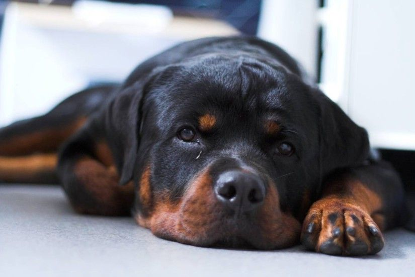 Sleeping Rottweiler 4K Wallpaper