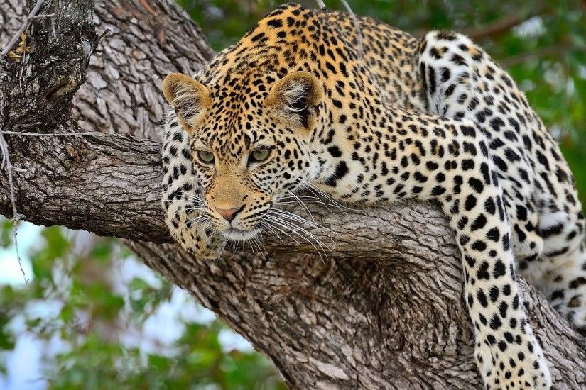 Free Download Cheetah Predator Lying Big Cat Images Wallpaper at  http://animaljetz.