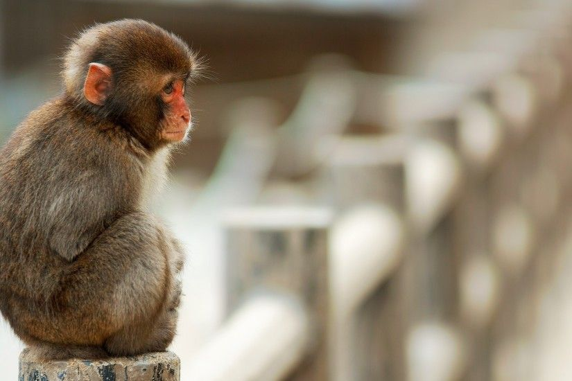 Baby Monkey Wallpaper, Best Baby Monkey Images - Nice Collection .