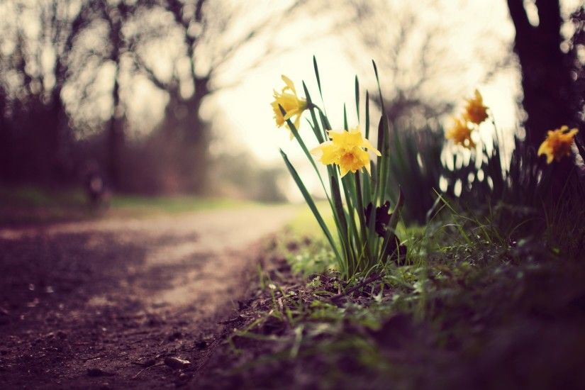 Spring Daffodils Flowers Nature HD Wallpaper | FreeWallsUp