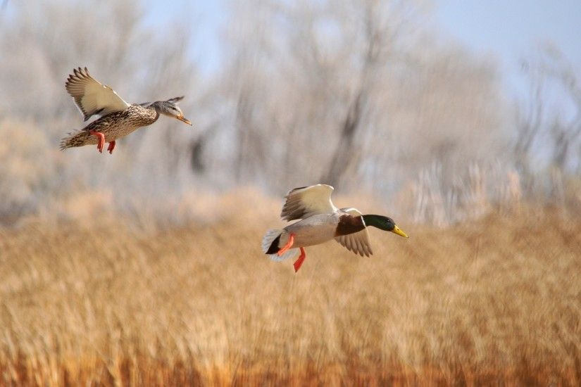 Animal - Mallard Motion Blur Bird Flying Animal Duck Wallpaper