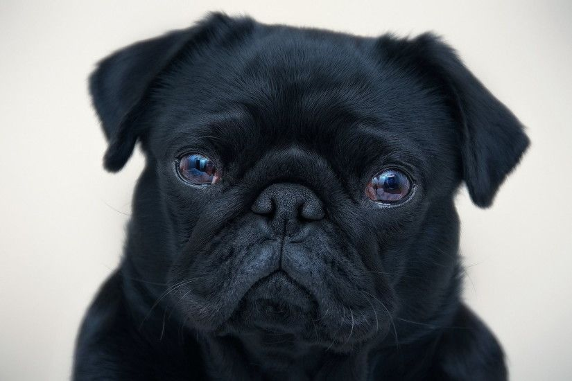 black pug puppy HD wallpaper