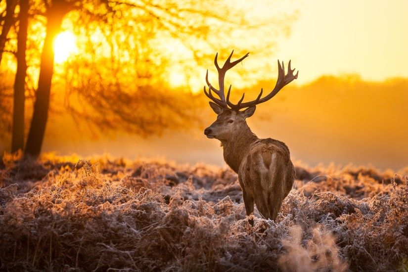 Deer Wallpapers : Get Free top quality Deer Wallpapers for your desktop PC  background, ios