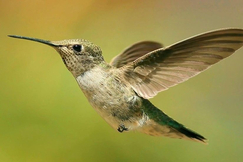Hummingbirds images Hummingbird in Flight HD wallpaper and background photos