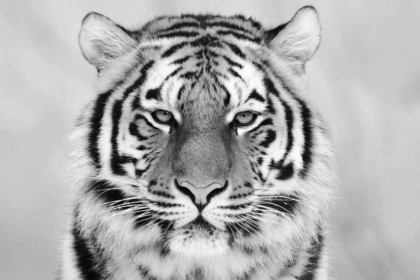 White Tiger Wallpaper Free