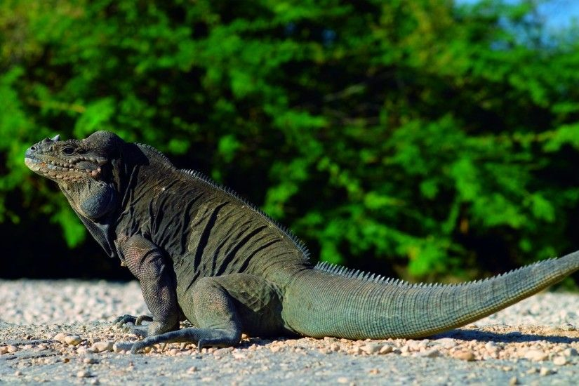 Komodo Dragon Desktop HD Wallpapers Download