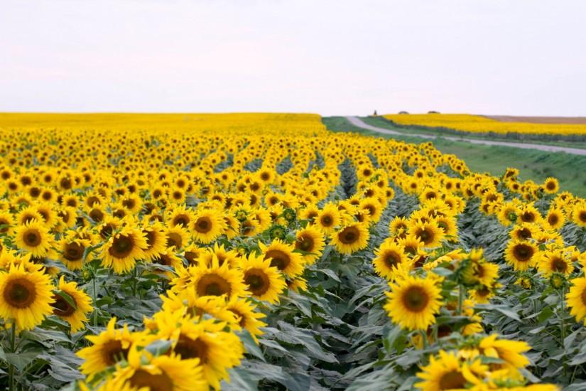 sunflower wallpaper 2048x1365 for full hd