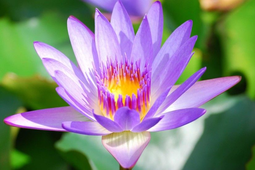Purple Lotus Flower Wallpapers For Android