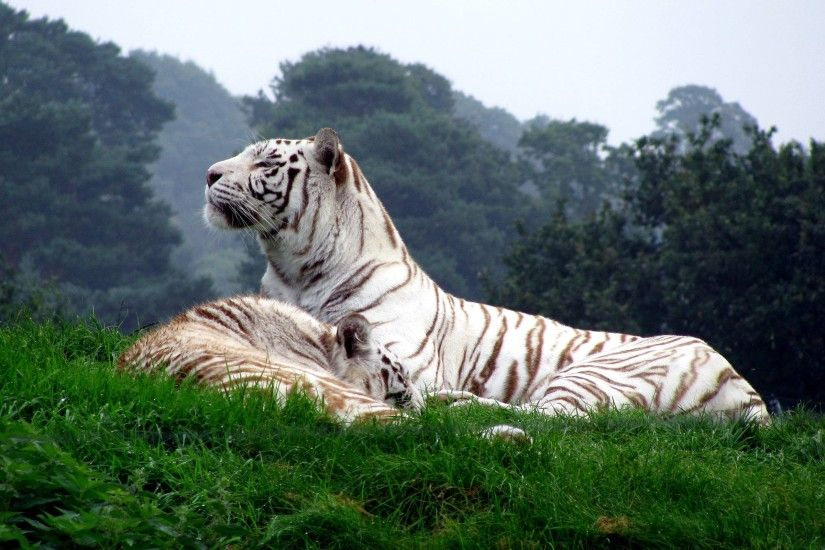 White Tiger Wallpaper High Quality