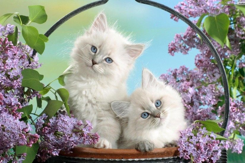 Couple White Cat Wallpaper #1616 | Hdwidescreens.