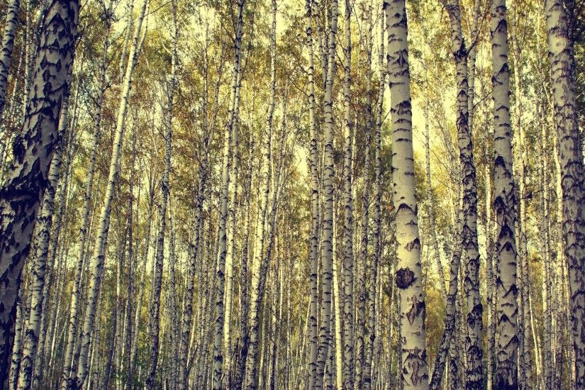 Nature Birch Tree Forest