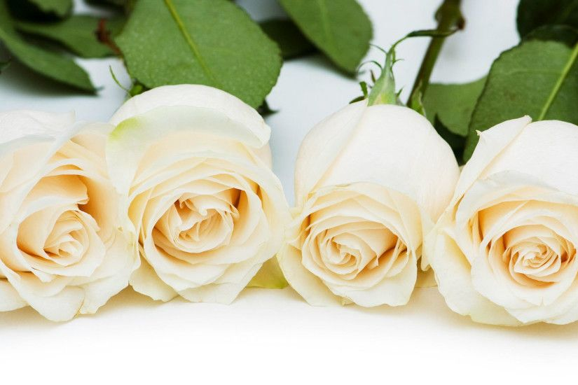 Free Download White Roses Pictures in High Resolution