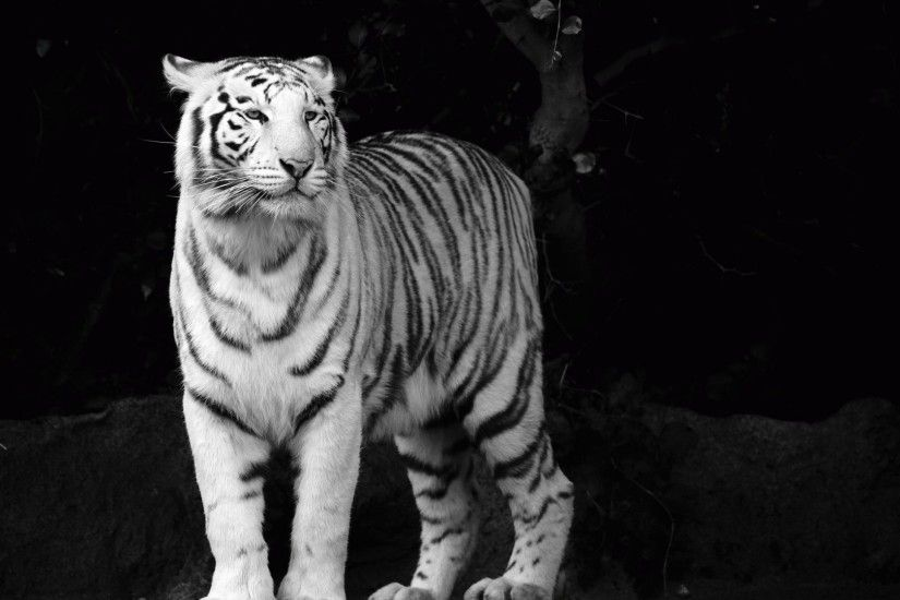 Tiger Tag - White Animals Tiger Albino Tigers Funniest Cats Pictures Ever  for HD 16: