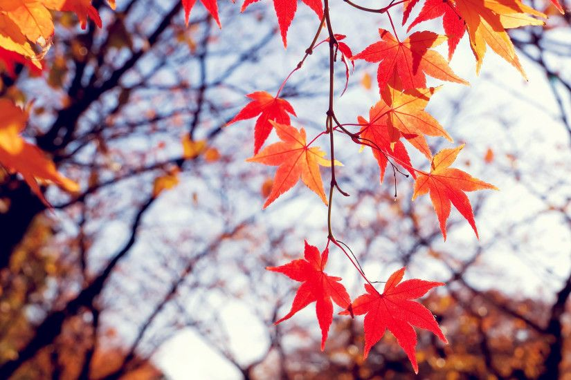 Red Fall Leaves Wallpaper Free
