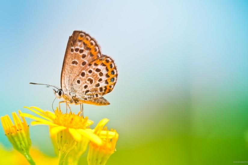 1280x720 Butterfly On Yellow Flower Wallpaper Background wallpaper