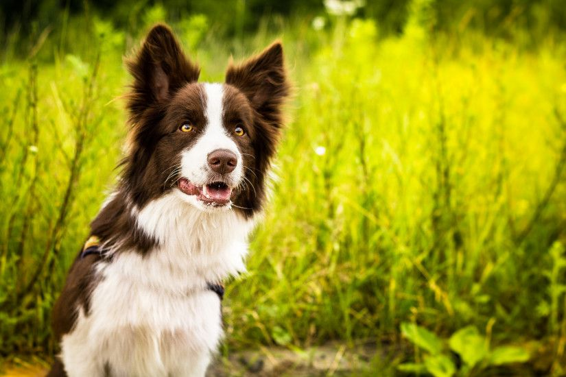 Border Collie Wallpapers Wallpaper