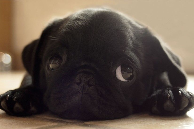 Cute Black Pug Wallpaper HD