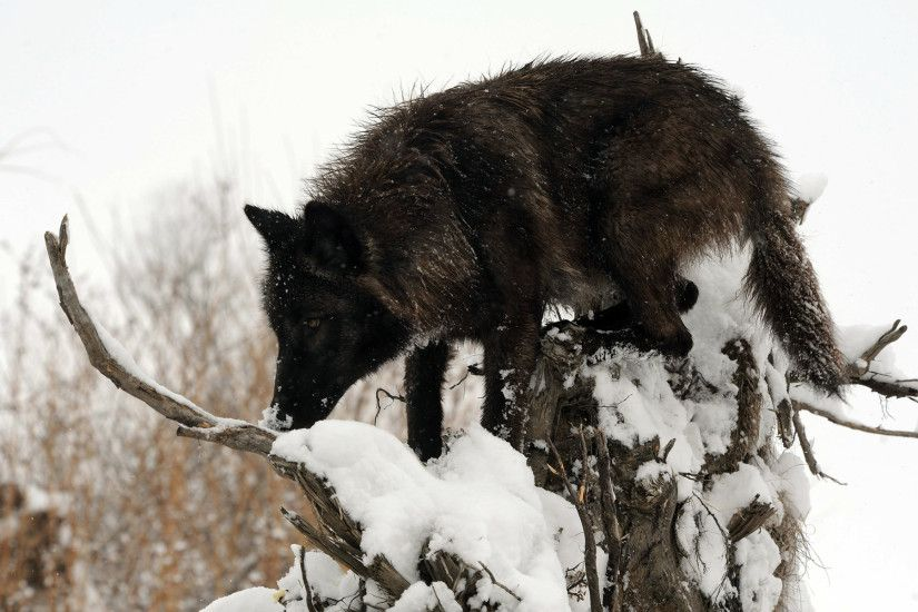 Download Free Black Wolf In Snow Wallpapers 1920x1200