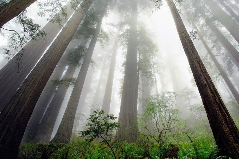 nature, Landscape, Redwood, Trees, Mist, Ferns, Shrubs, Forest,  Perspective, California Wallpapers HD / Desktop and Mobile Backgrounds