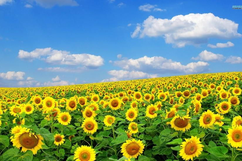 cool sunflower background 1920x1200 for android 50