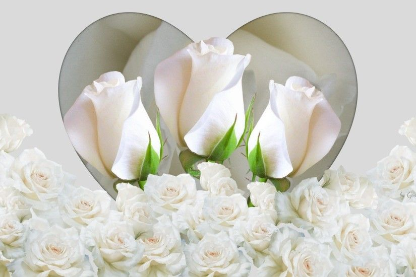 High Quality White Rose Wallpapers – Full HD Pictures for mobile and desktop