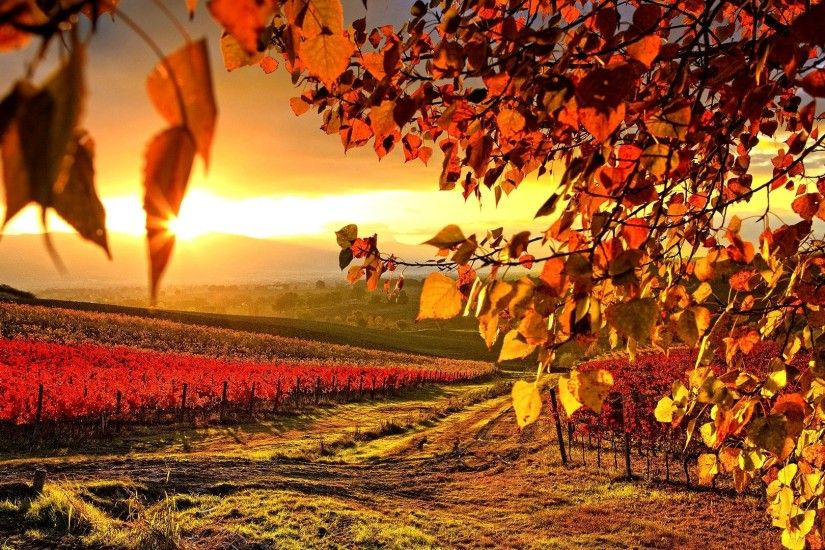 Beautiful Vineyard Autumn Wallpaper Full HD Wallpaper