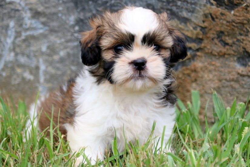HQ Shih Tzu Wallpapers | File 1096Kb