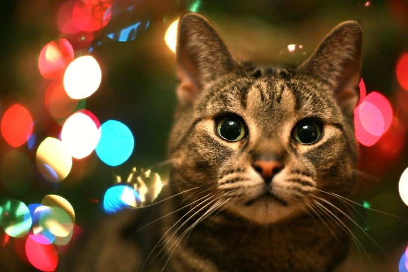 Tabby Cat In Christmas Lights | High Quality Wallpapers,Wallpaper .
