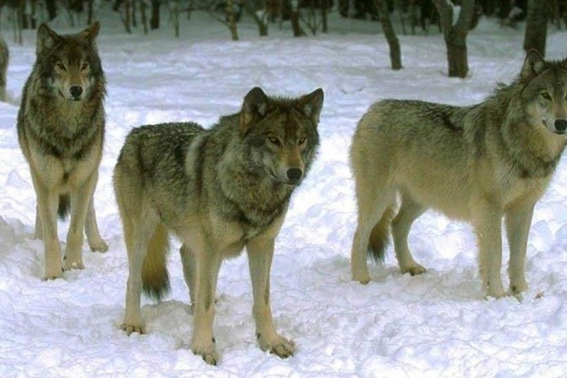 Wolf Pack Waiting On The Hunt