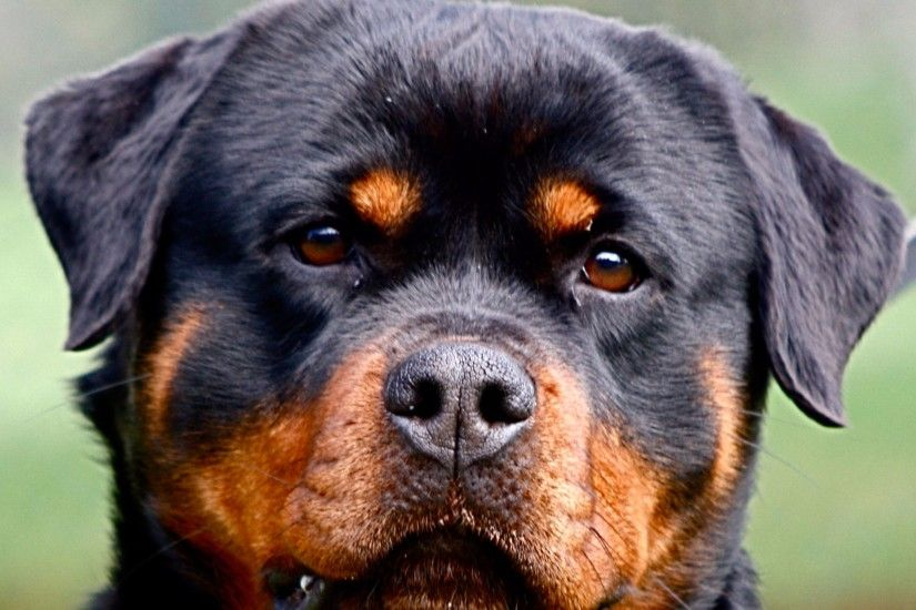 New Rottweiler 4K Wallpaper