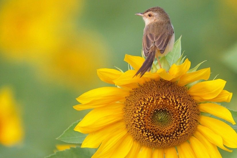 sunflower wallpapers for mac desktop