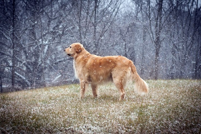 Golden Retriever Wallpapers, HD Pictures