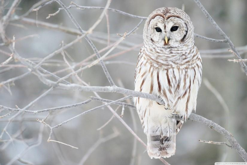 White Owl Hd Wallpaper Â« Animals & Birds Wallpapers Â« Free .