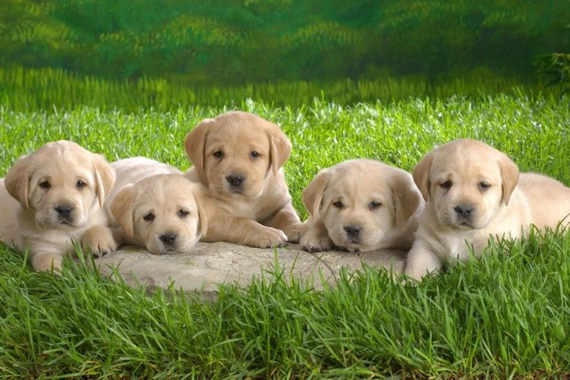 Preview wallpaper labrador, puppies, grass, dogs 2048x1152