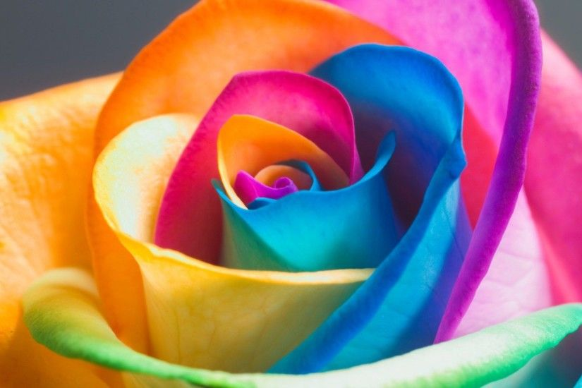 Beautiful Rose Flowers | rainbow rose flower hd cool spring hd desktop  spring flowers hd image