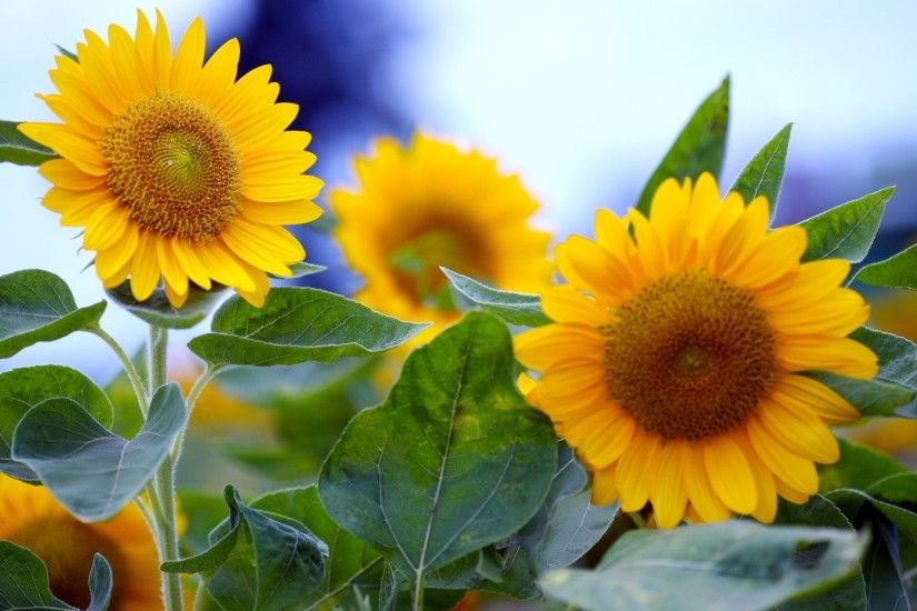 Summer sunflower in full bloom Wallpaper