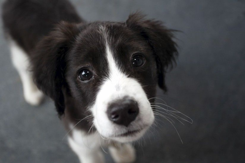 Border Collie new wallpapers