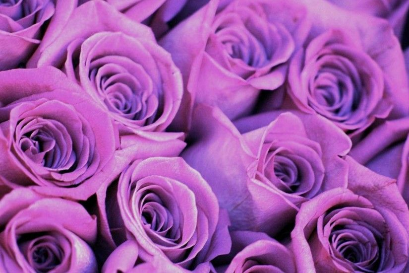 purple roses background Purple Rose Wallpapers