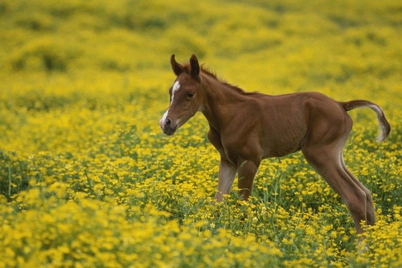 Arabian baby colt horse wallpapers